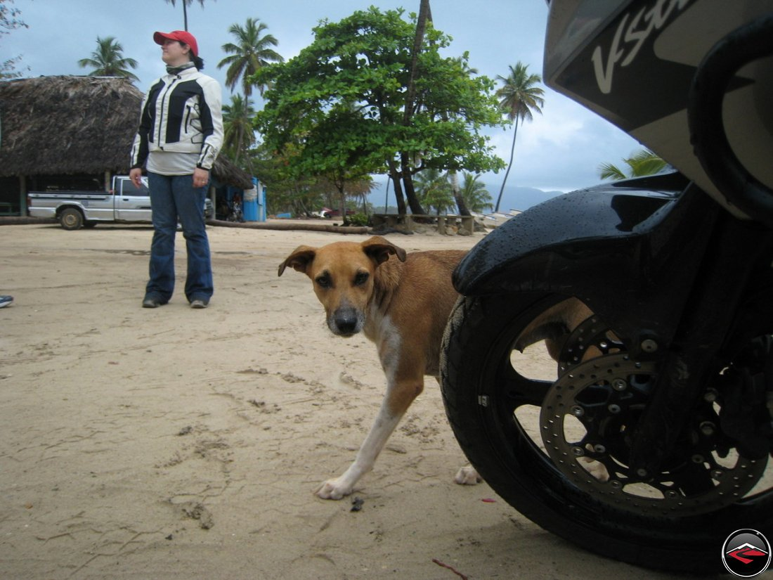 shy stray dog walks around the front of a motorcycle wheel