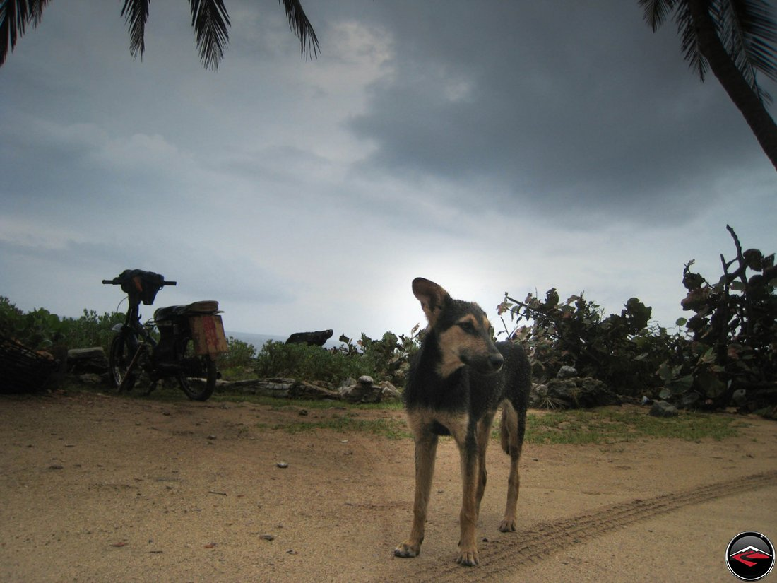Stray dog on a caribbean beach