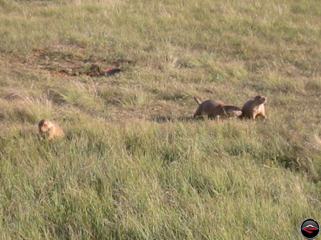 Prarie Dogs in the grass