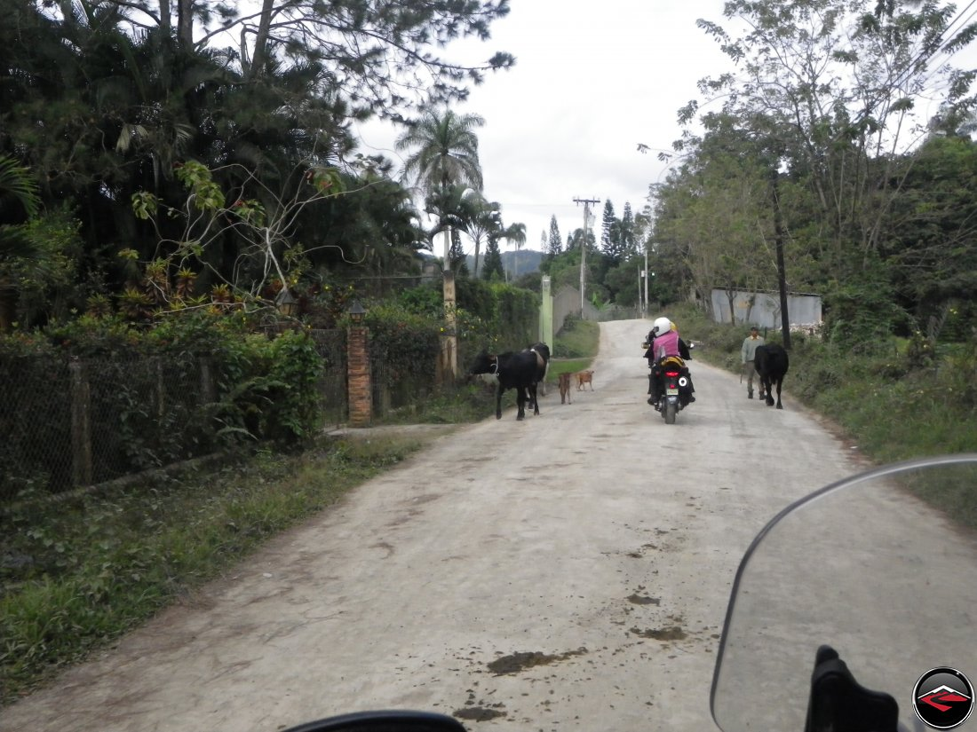 Motorcycle riding past cows and dogs in Jarabacoa Dominican   Republic