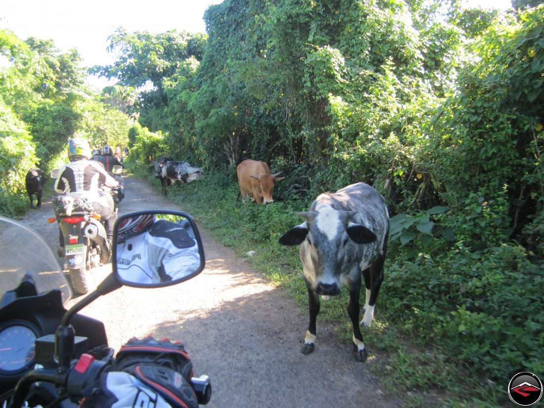 cows on the road on a caribbean island