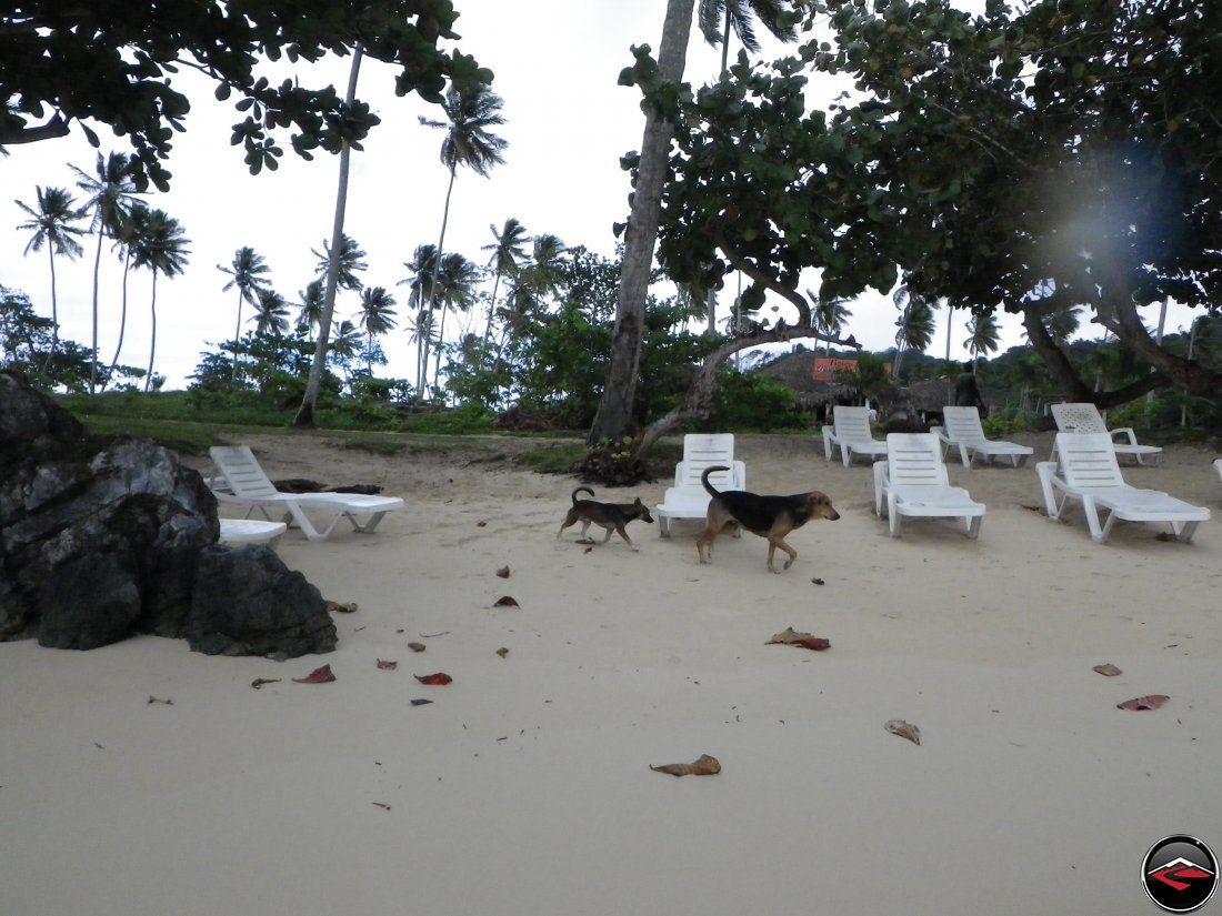 stray dogs on the beach Playa Rincon Dominican Republic